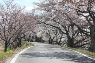 200324木曽川堤の桜 (63).jpg