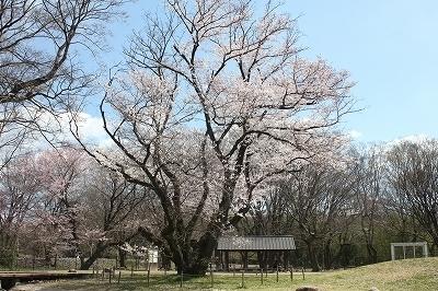 200324開花左側樹勢弱い.jpg