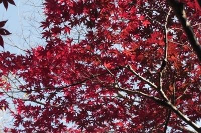 201117紅葉の様子 (10).jpg