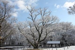 210131雪エドヒガン (3).jpg