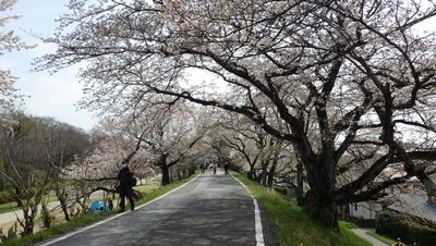 210327国指定名勝及び天然記念物「木曽川堤(サクラ)」守る講座 (46).JPG