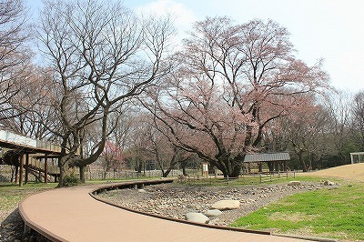 桜0322 (4).jpg