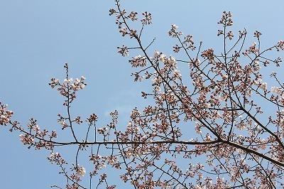 桜0322 (5).jpg