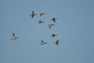 sA-13-2わたり鳥〜はるかなる旅路〜.jpg